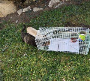 Dos gatos curiosean atraidos por el olor de la comida colocada en la jaula trampa.