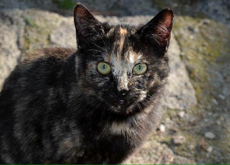 Noche. Una gatita Carey que vive en una de las colonias gestionadas por Protección Felina Valdemorillo