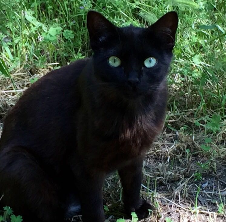 Jade, gato negro de una de las colonias gestionadas por miembros de Protección Felina Valdemorillo
