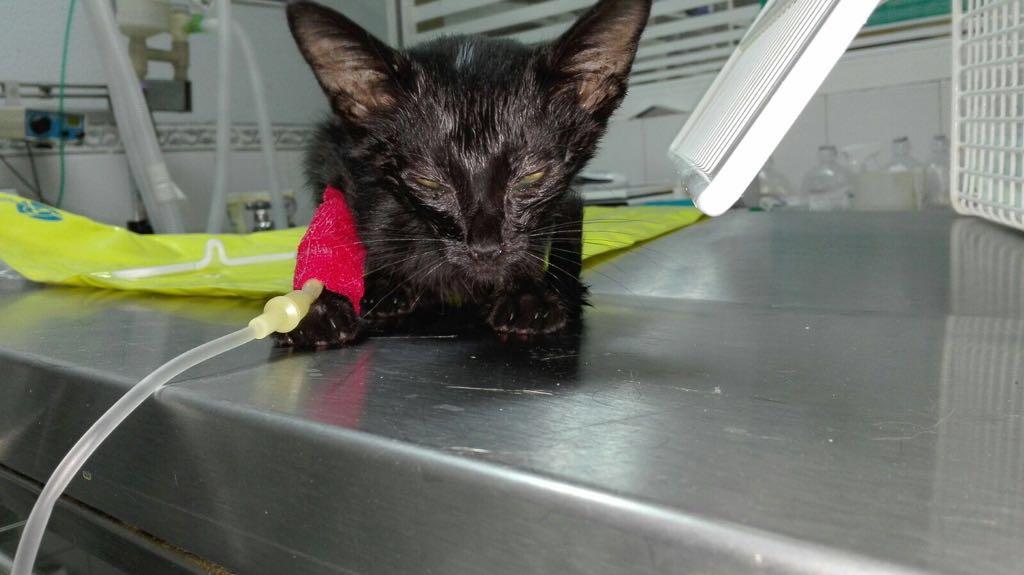 Tizón, Gatito encontrado en Valdemorillo en muy mal estado. Va mejorando y está en acogida